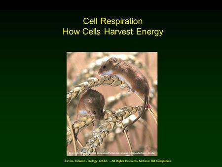 Raven - Johnson - Biology: 6th Ed. - All Rights Reserved - McGraw Hill Companies Cell Respiration How Cells Harvest Energy Copyright © McGraw-Hill Companies.