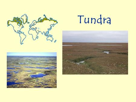 Tundra. Tundra Location and Climate The tundra is found across northern Alaska, Canada, and Siberia. It is the coldest of all the biomes. This biome has.