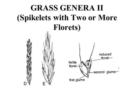 GRASS GENERA II (Spikelets with Two or More Florets)
