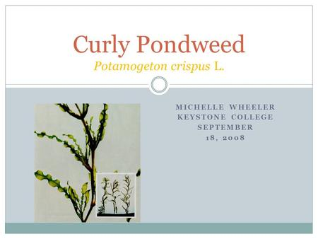MICHELLE WHEELER KEYSTONE COLLEGE SEPTEMBER 18, 2008 Curly Pondweed Potamogeton crispus L.