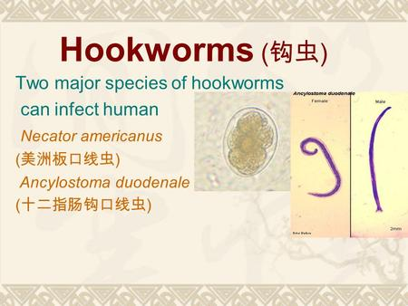 Hookworms (钩虫) Two major species of hookworms can infect human