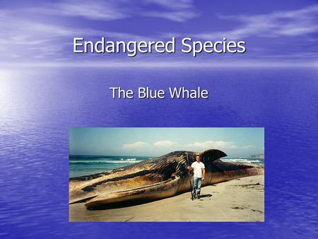 Endangered Species The Blue Whale. Size May have been the largest animal to ever live May have been the largest animal to ever live 130 to 150 tons on.