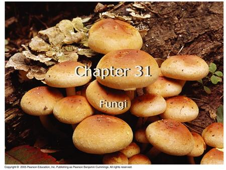 Chapter 31 Fungi. Heterotrophic Metabolism Fungi are heterotrophs, but they do not ingest their food. They release exoenzymes that digest their food while.