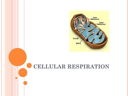 CELLULAR RESPIRATION. WHO DOES CELLULAR RESPIRATION? Animals Humans Plants/Algae Basically any organism with nuclei & mitochondria So what other organisms.