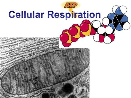 Cellular Respiration Who? All eukaryotic cells Purpose? Convert food (such as glucose) into ATP 1 glucose = 36 ATP Aerobic process: reaction requires.