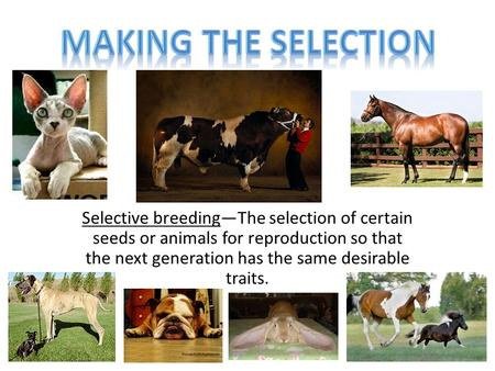 Selective breeding—The selection of certain seeds or animals for reproduction so that the next generation has the same desirable traits.