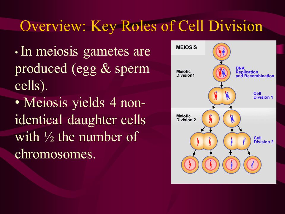 The Cell Cycle Eukaryotic cells divide in a series of steps known as the Cell Cycle.