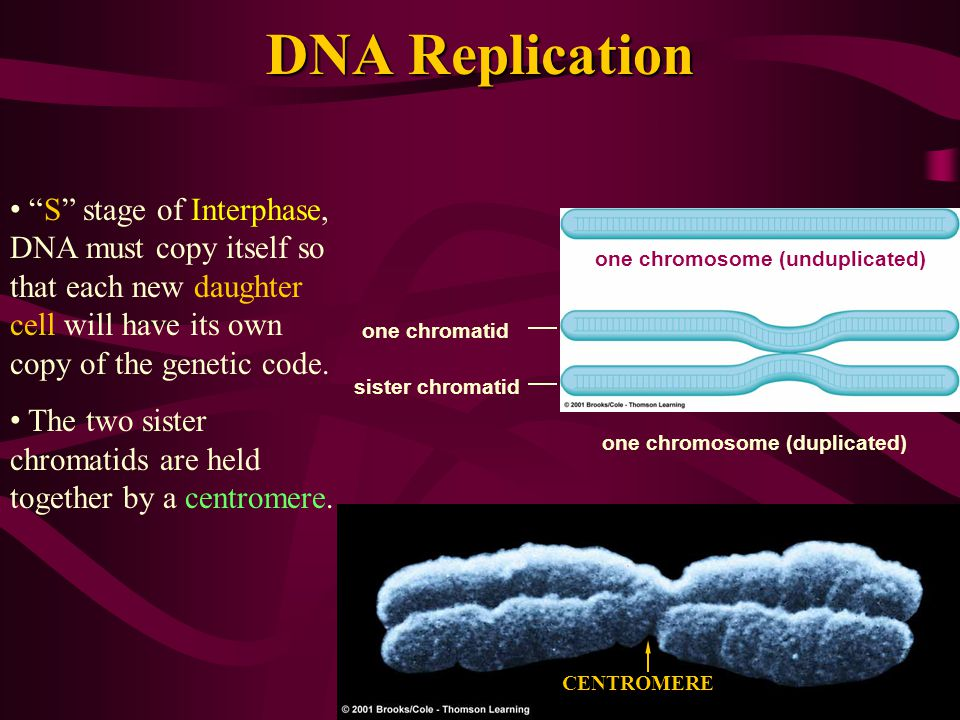Chromosome Structure Kinetochore One nucleosome DNA Attached to both sides of a centromere are connecting points known as kinetochores.