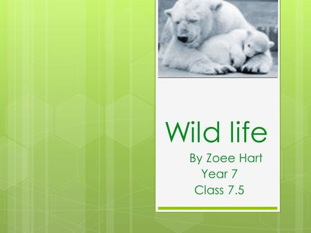 Wild life By Zoee Hart Year 7 Class 7.5. Contents Polar Bears What's really happening? Animation Pictures Quiz Solutions Ending.