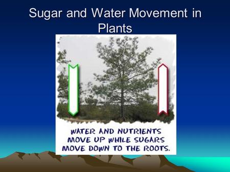 Sugar and Water Movement in Plants. Water Movement Water is moved up from the roots of the plants, up the stem and out the leaves by the Transpiration-Pull.