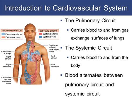 Introduction to Cardiovascular System  The Pulmonary Circuit  Carries blood to and from gas exchange surfaces of lungs  The Systemic Circuit  Carries.