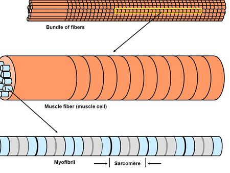 Bundle of fibers Muscle fiber (muscle cell) Myofibril Sarcomere.