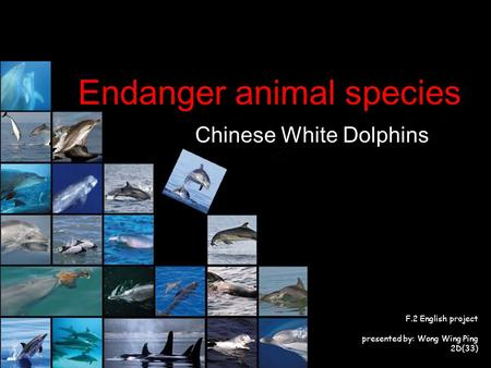 F.2 English project presented by: Wong Wing Ping 2D(33) Endanger animal species Chinese White Dolphins.