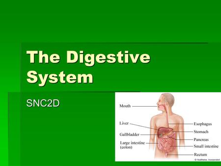 The Digestive System SNC2D. The Digestive Tract The digestive system consists of the digestive tract, a series of hollow organs which may be thought of.