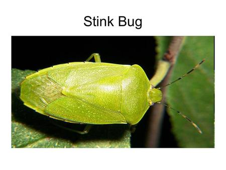 Stink Bug. Minute Pirate Bug Big Eyed Bug Damsel Bug.