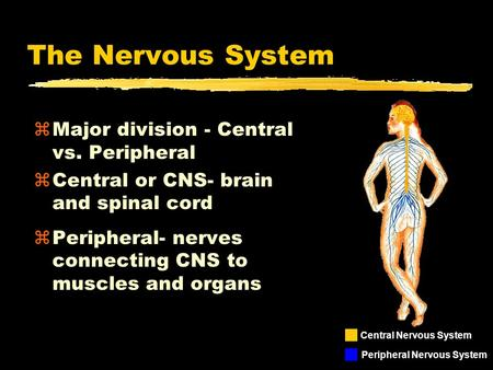 The Nervous System zMajor division - Central vs. Peripheral zCentral or CNS- brain and spinal cord zPeripheral- nerves connecting CNS to muscles and organs.