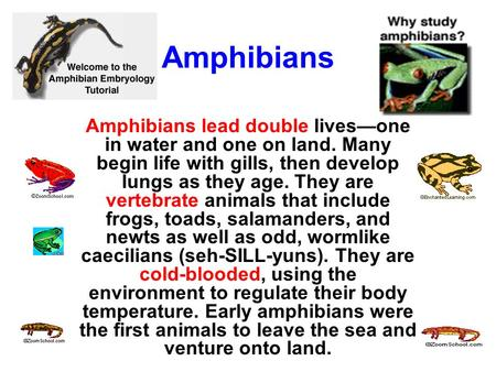 Amphibians Amphibians lead double lives—one in water and one on land. Many begin life with gills, then develop lungs as they age. They are vertebrate animals.