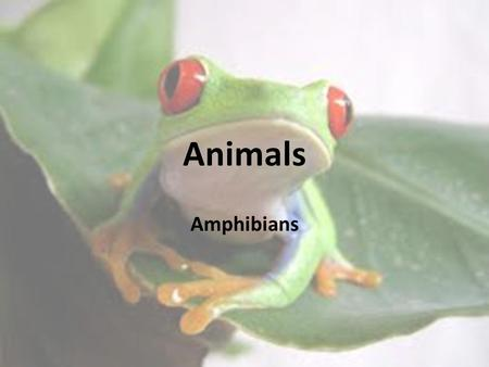 Amphibians Animals. Amphibians Amphibian: a vertebrate that lives in water as a larva and on land as an adult, breathes with lungs as an adult, has moist.