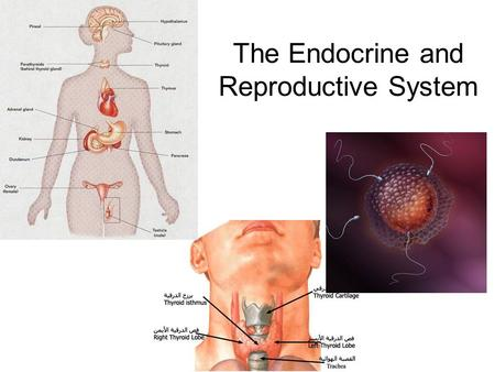 The Endocrine and Reproductive System. What is the Endocrine System? A system of glands that uses hormones to control many parts of your body.