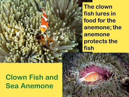 Clown Fish and Sea Anemone The clown fish lures in food for the anemone; the anemone protects the fish.