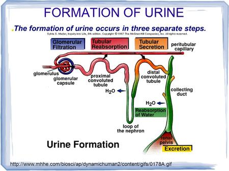 FORMATION OF URINE The formation of urine occurs in three separate steps.