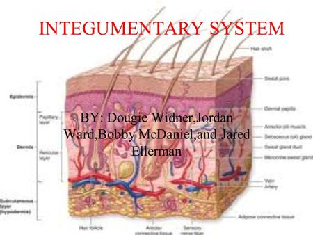 INTEGUMENTARY SYSTEM BY: Dougie Widner,Jordan Ward,Bobby McDaniel,and Jared Ellerman.