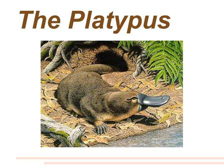 The Platypus. Platypus = the word means flat foot.