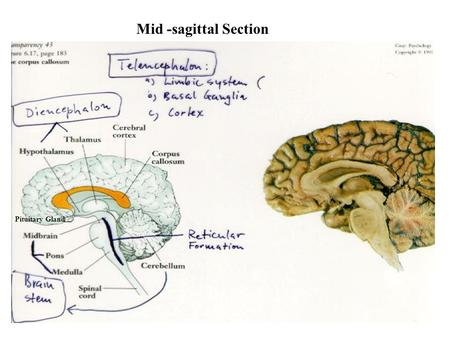 Mid -sagittal Section Pituitary Gland. The Autonomic Nervous System.