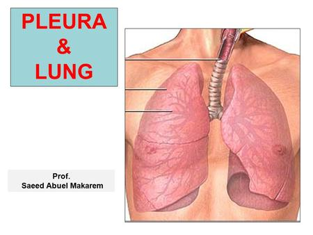 PLEURA & LUNG Prof. Saeed Abuel Makarem. Objectives By the end of the lecture, you should be able to: Describe the anatomy of the pleura: subdivisions.