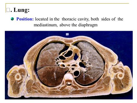 Ⅴ. Lung: Position: located in the thoracic cavity, both sides of the