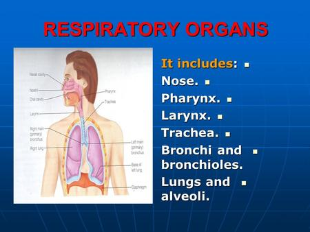 RESPIRATORY ORGANS It includes: Nose. Pharynx. Larynx. Trachea.