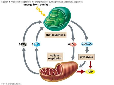 © 2014 Pearson Education, Inc. Figure 8-1 Photosynthesis provides the energy released during glycolysis and cellular respiration photosynthesis energy.