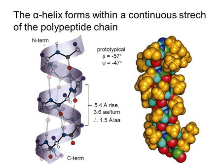The α-helix forms within a continuous strech of the polypeptide chain 5.4 Å rise, 3.6 aa/turn  1.5 Å/aa N-term C-term prototypical  = -57  ψ = -47 