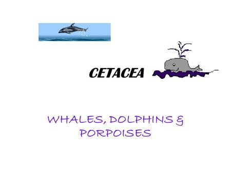 CETACEA WHALES, DOLPHINS & PORPOISES. FISH-LIKE CHARACTERISTICS Convergent evolution due to environmental pressure Front flippers, no rear flippers Has.