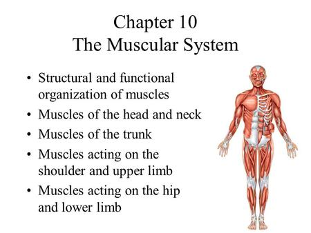 Chapter 10 The Muscular System