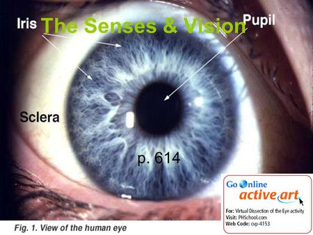 The Senses & Vision p. 614. 1. What are the five senses? 1.Vision 2.Hearing 3.Smell 4.Taste 5.Touch.
