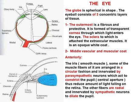 THE EYE The globe is spherical in shape . The eyeball consists of 3 concentric layers of tissue. 1- The outermost is a fibrous and.