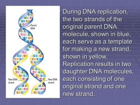  During DNA replication, the two strands of the original parent DNA molecule, shown in blue, each serve as a template for making a new strand, shown in.