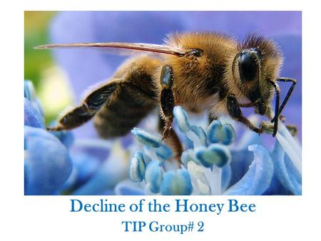 Decline of the Honey Bee TIP Group# 2. Facts About the Honey Bee Communicate the location, distance and source of nectar or pollen using dance. Every.