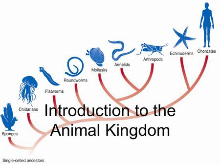 Introduction to the Animal Kingdom. Introduction to the Animal Kingdom Animals are multicellular eukaryotic heterotroph whose cells lack cell walls Vertebrates: