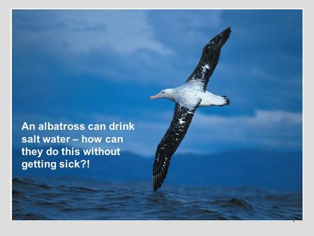 1 An albatross can drink salt water – how can they do this without getting sick?!