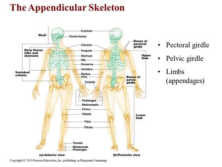 The Appendicular Skeleton Copyright © 2003 Pearson Education, Inc. publishing as Benjamin Cummings Pectoral girdle Pelvic girdle Limbs (appendages)