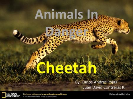 Animals In Danger Cheetah By: Carlos Andrés Rojas Juan David Contreras R.