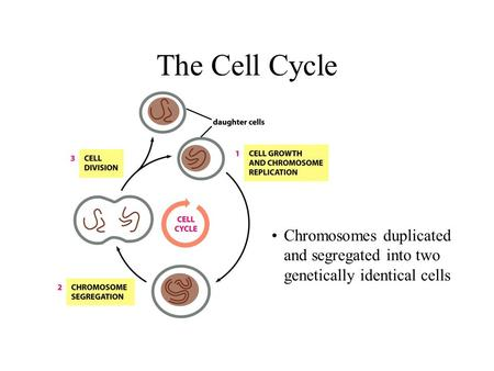 The Cell Cycle Chromosomes duplicated and segregated into two genetically identical cells.