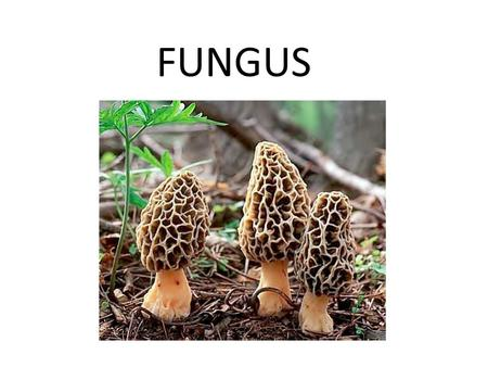 FUNGUS. Fungus – Structure and Function Fungus have body structures and modes of reproduction unlike other eukaryotic organisms.