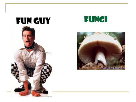 Fungi Fun Guy. What is a fungus? Fungus: singular, fungi: plural Heterotrophs: obtain food from living and non-living organisms Use spores to reproduce.