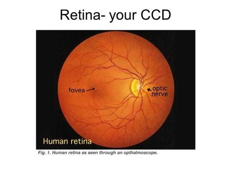 Retina- your CCD. Light ~120 million rods ~7 million cones Most cones concentrated in the fovea.