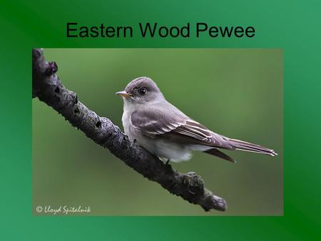Eastern Wood Pewee. Osprey Blue-Winged Teal Purple Finch.