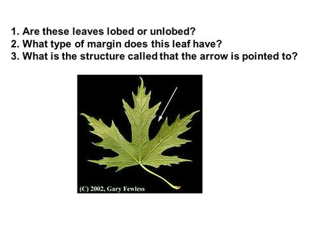 1.Are these leaves lobed or unlobed? 2.What type of margin does this leaf have? 3.What is the structure called that the arrow is pointed to?