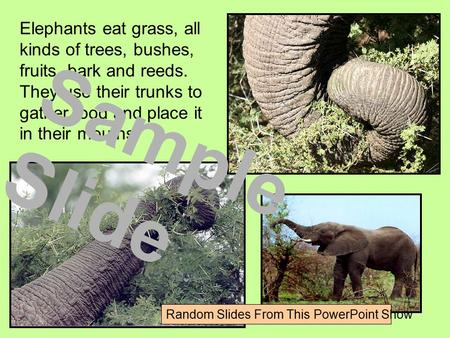 Elephants eat grass, all kinds of trees, bushes, fruits, bark and reeds. They use their trunks to gather food and place it in their mouths.. Sample Slide.
